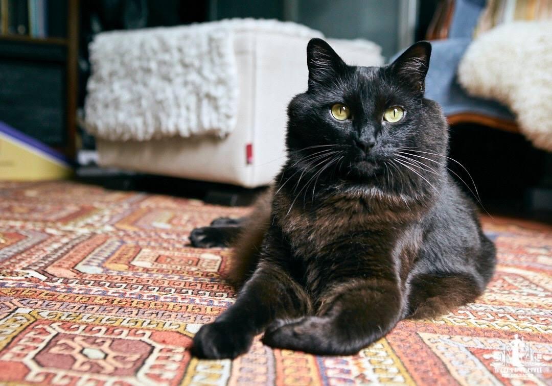 Percy the black cat (VOKRA)