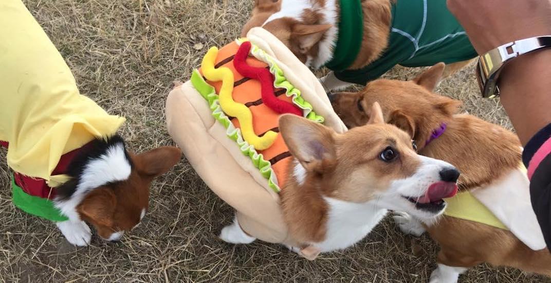 Corgi hot dog