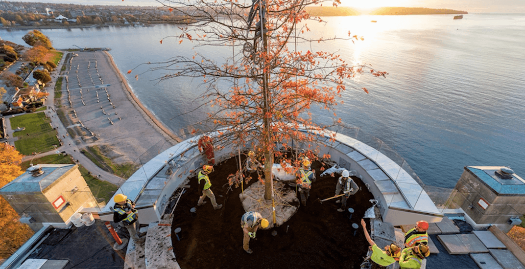 New tree planted on roof of Eugenia building in Vancouver's West End