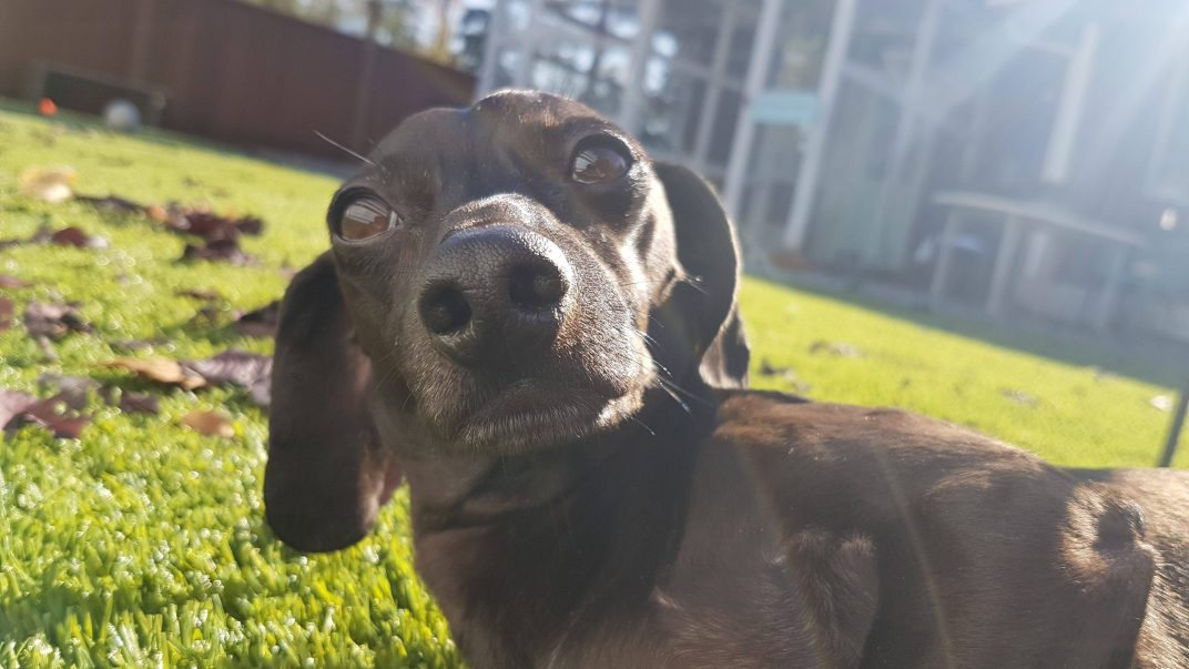 Charity seeks help for Bratwurst the paralyzed pup