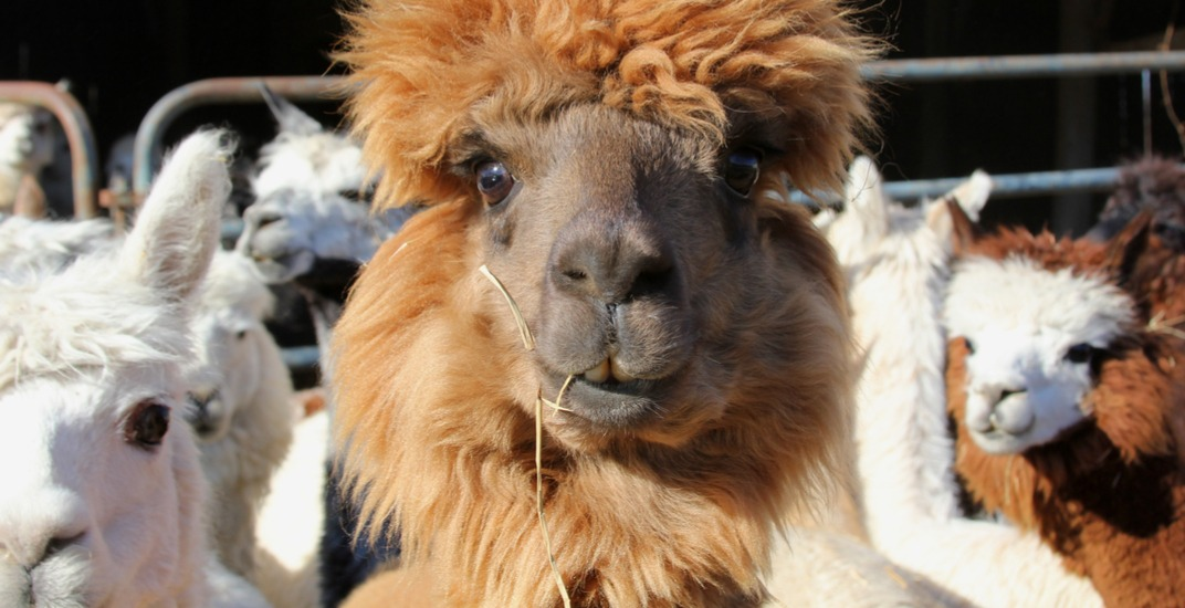 There's a free alpaca workshop happening near Montreal this weekend