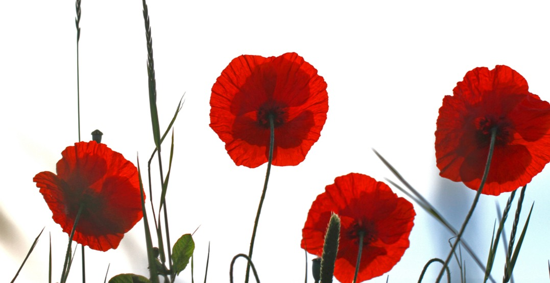 Tall poppies ruth swanshutterstock