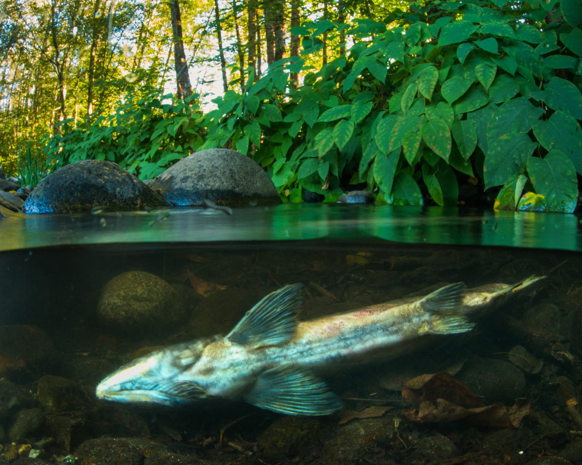 Maplewood Farm Creek in North Vancouver (Fernando Lessa)