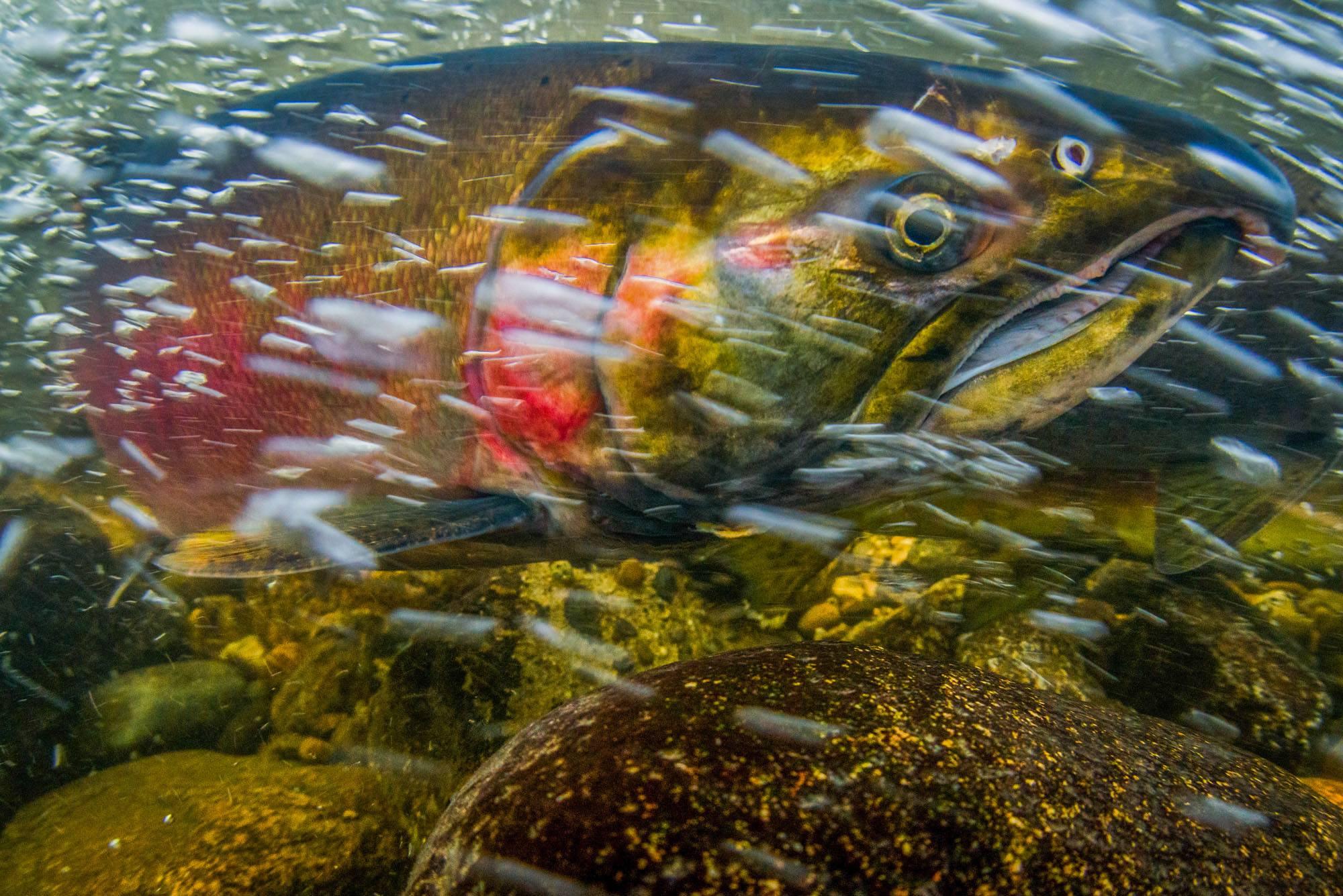 Coho Salmon in Stoney Creek, Burnaby (Fernando Lessa)