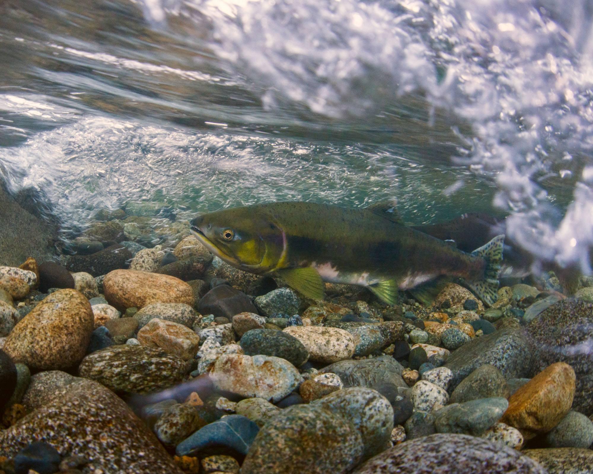 Chum Salmon in Lynn Creek (Fernando Lessa)