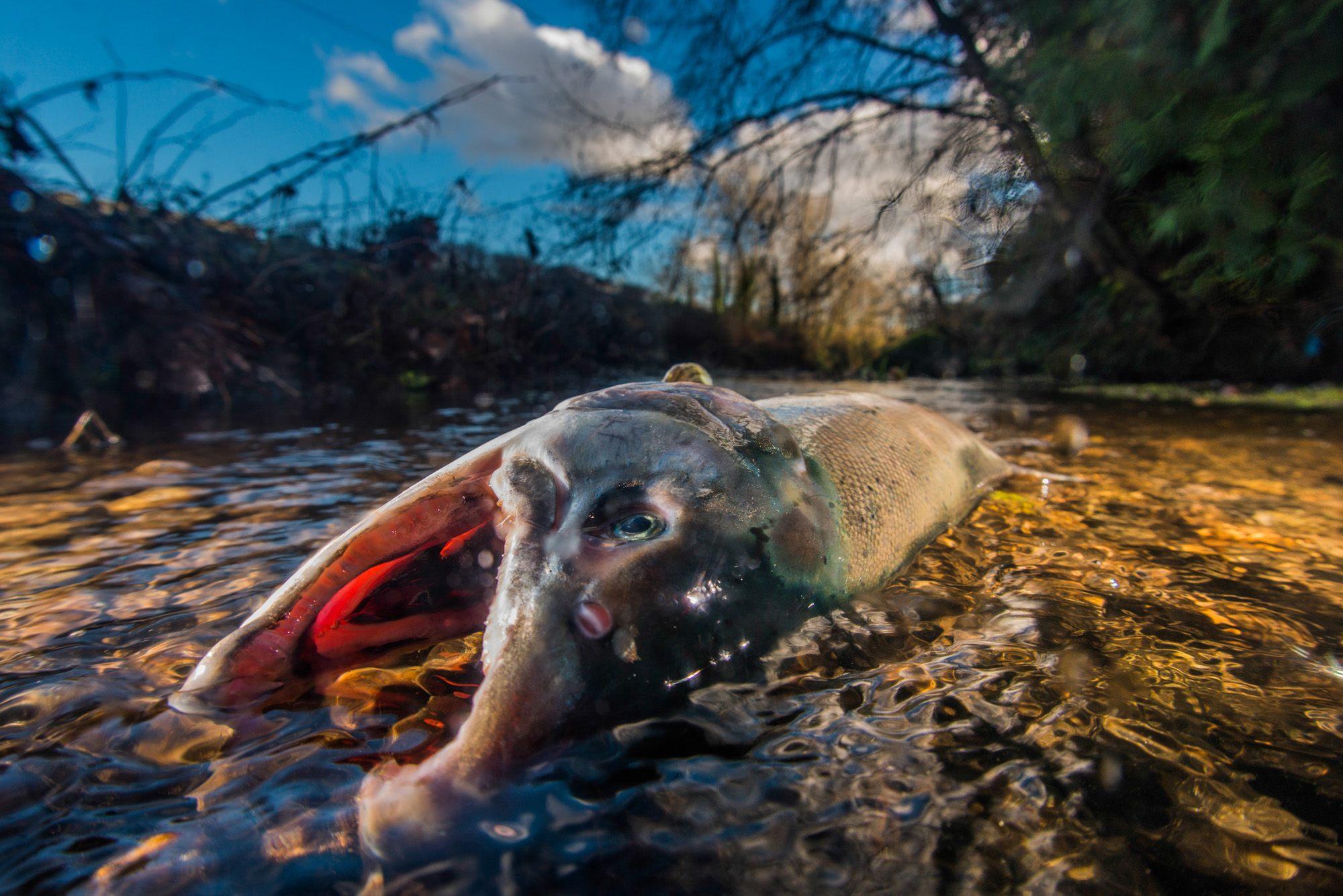Dead Coho Salmon, still in its ocean colors in Brunette River, Burnaby (Fernando Lessa)