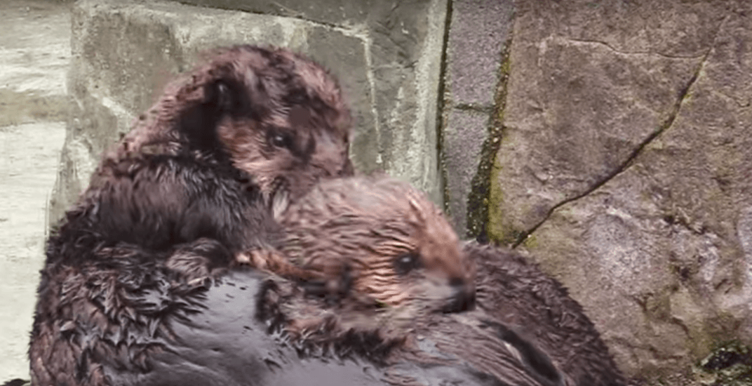 Orphaned sea otter pups meet for first time and it's adorable (VIDEO)
