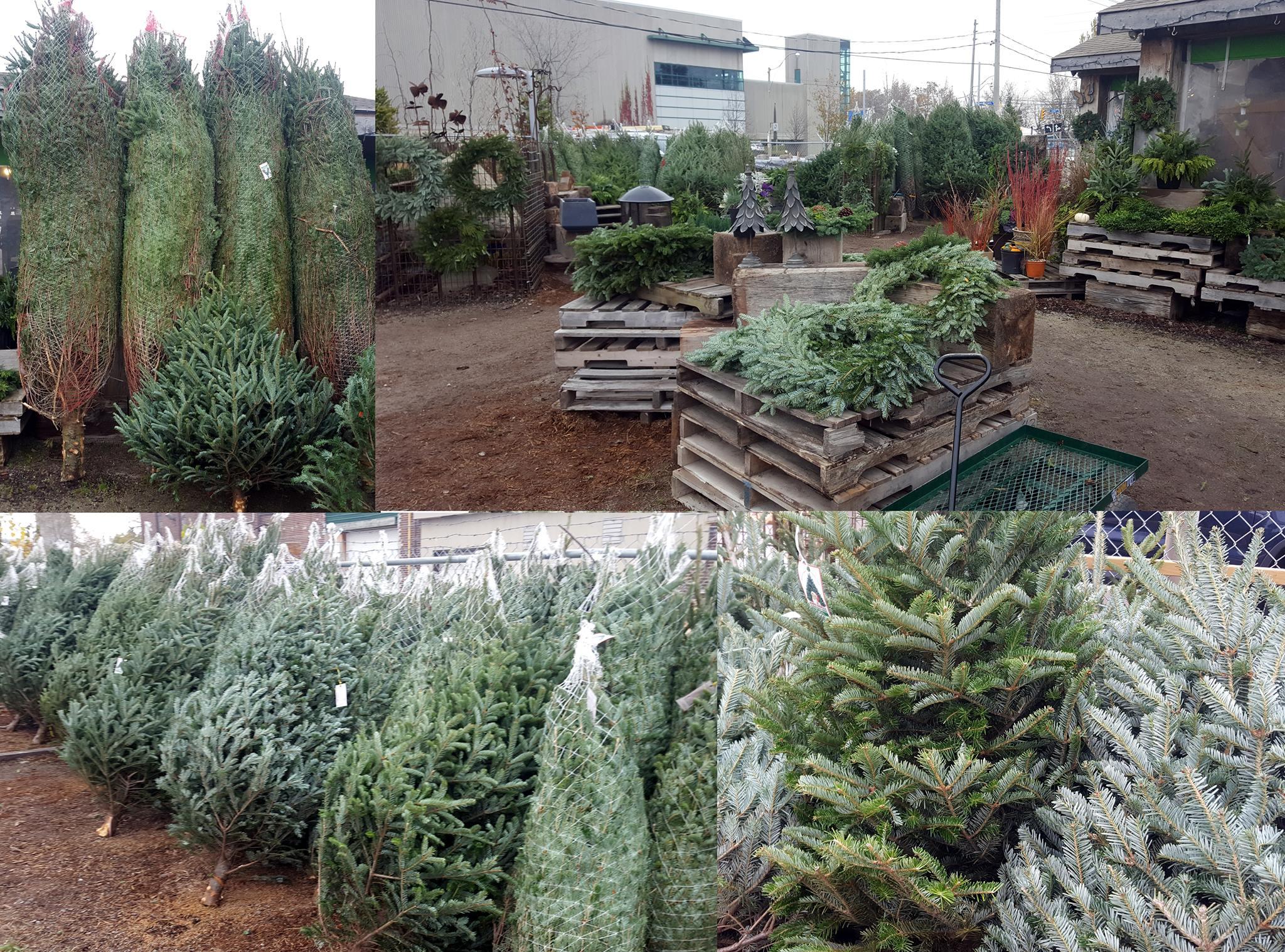 Fiesta Farms Christmas Trees