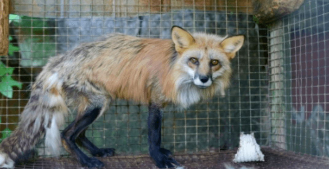 Quebec farmer charged with animal cruelty against foxes and dogs