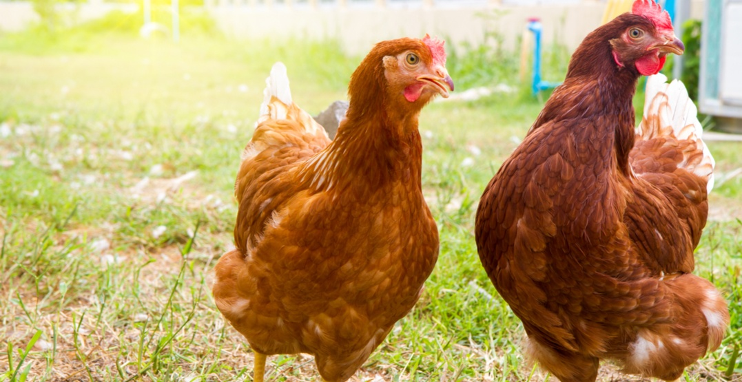 City of Airdrie to allow backyard chickens for pilot project