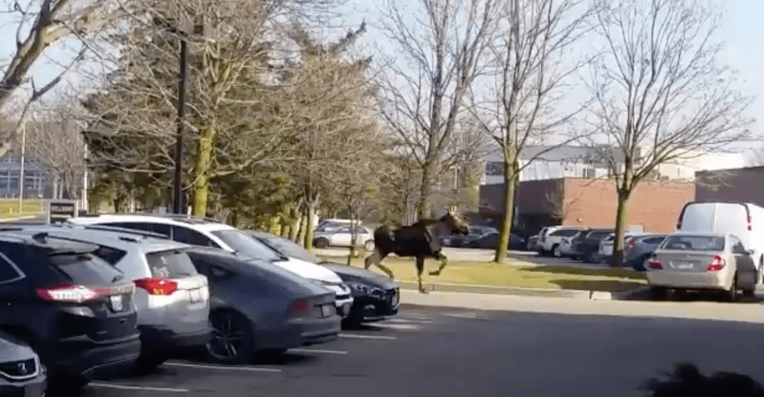 There is a moose on the loose in the GTA and everyone is freaking out