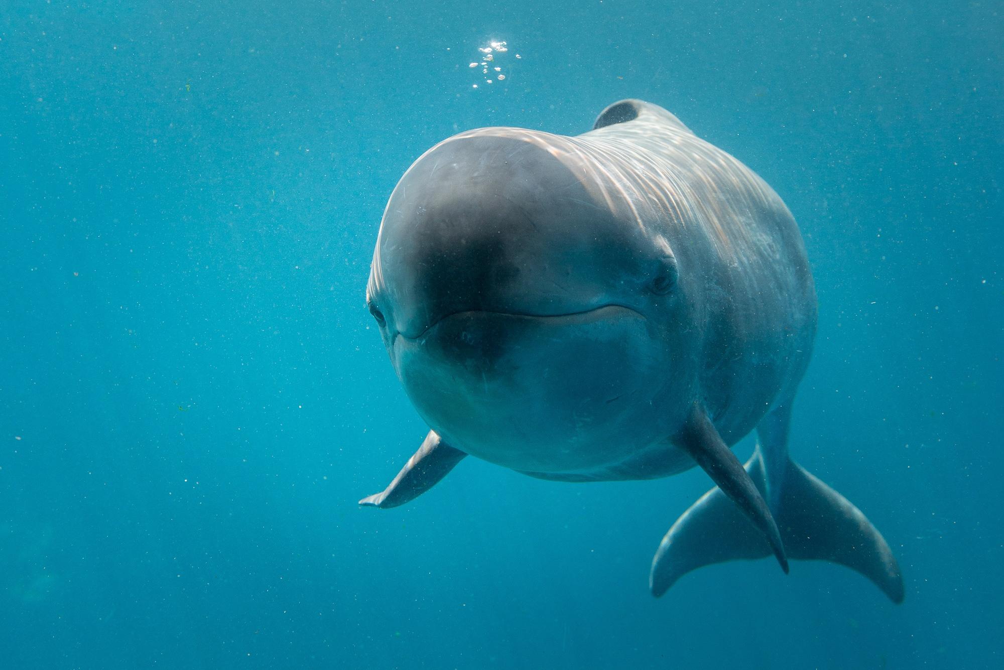 Chester the false killer whale dies at Vancouver Aquarium