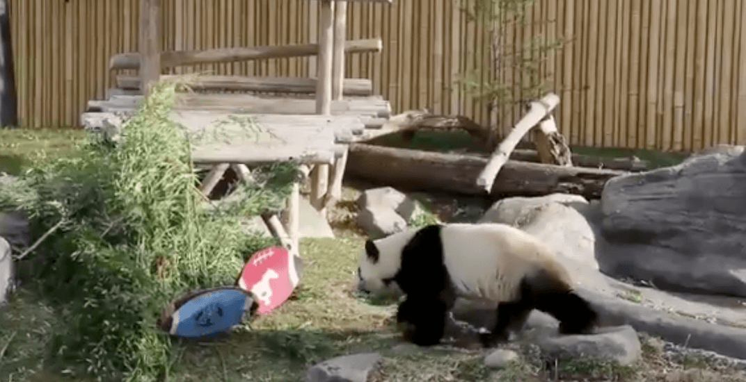 Football prognosticating panda predicts winner of Grey Cup game (VIDEO)