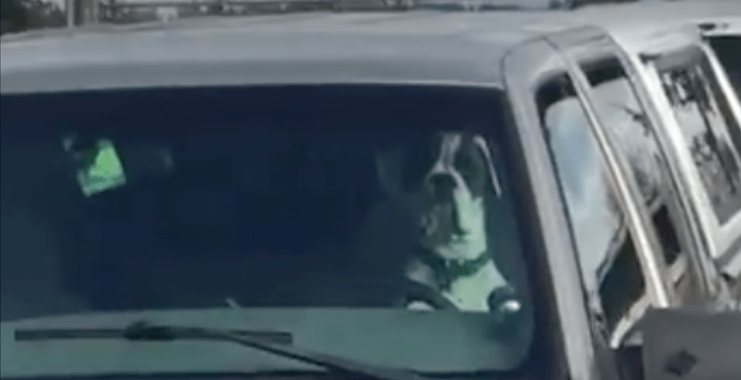 Impatient pup leans on horn while waiting in car on Vancouver Island (VIDEO)