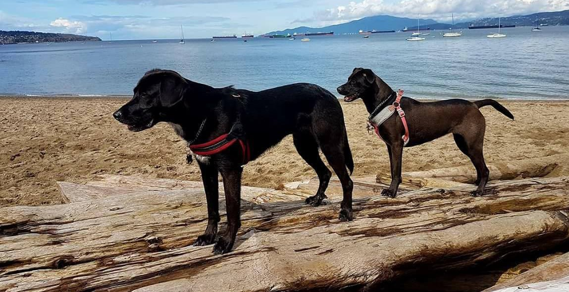Vancouver man warns dog owners after dog eats PCP drug at beach