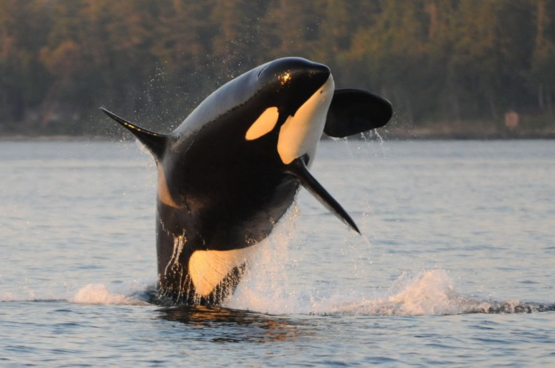 Orca K16, known as Opus (Centre for Whale Research)