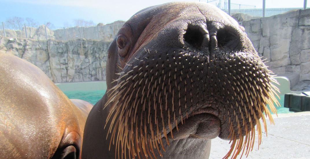 Lakina walrus