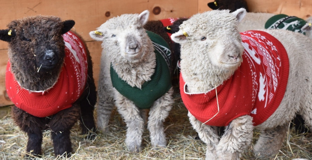 This holiday pop-up features sheep in Christmas sweaters