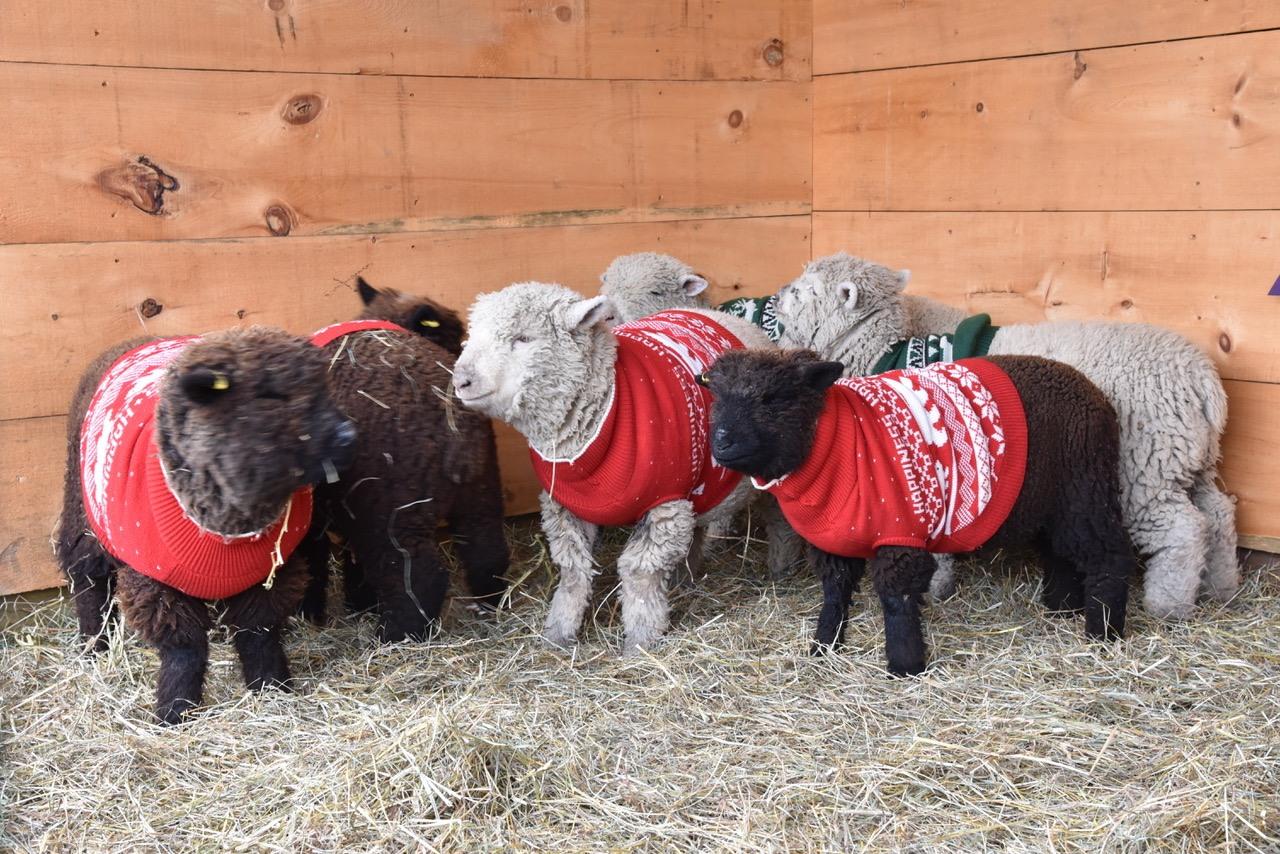 Terre Bleu sheep christmas sweaters