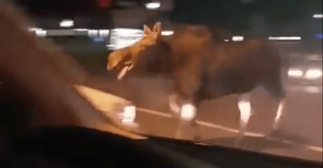 Martha the moose was loose in Ontario over the weekend (VIDEO)