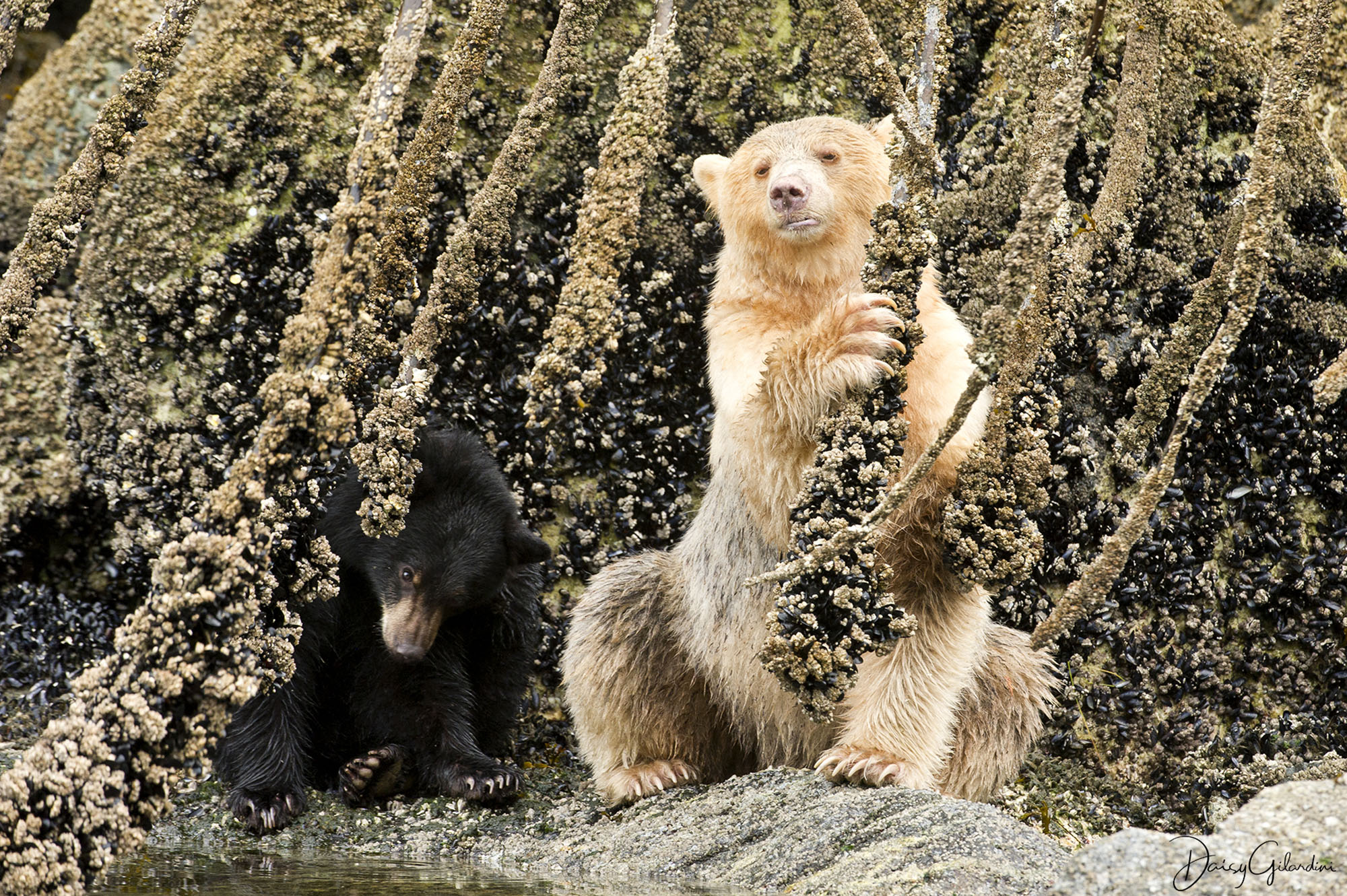 Spirit bear mother with black cub eating barnacles (Daisy Gilardini)