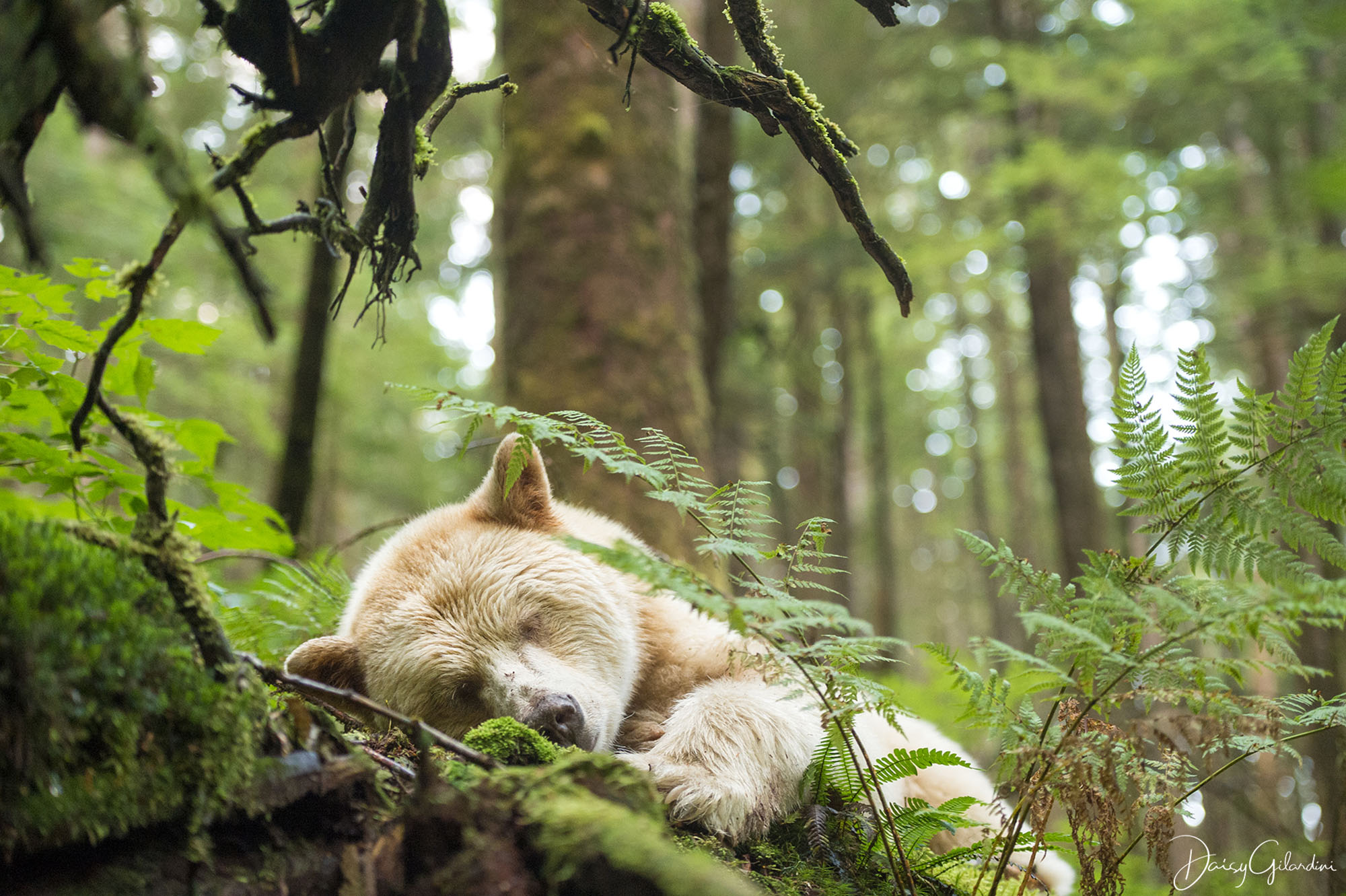 Spirit bear sleeping in the forest (Daisy Gilardini)