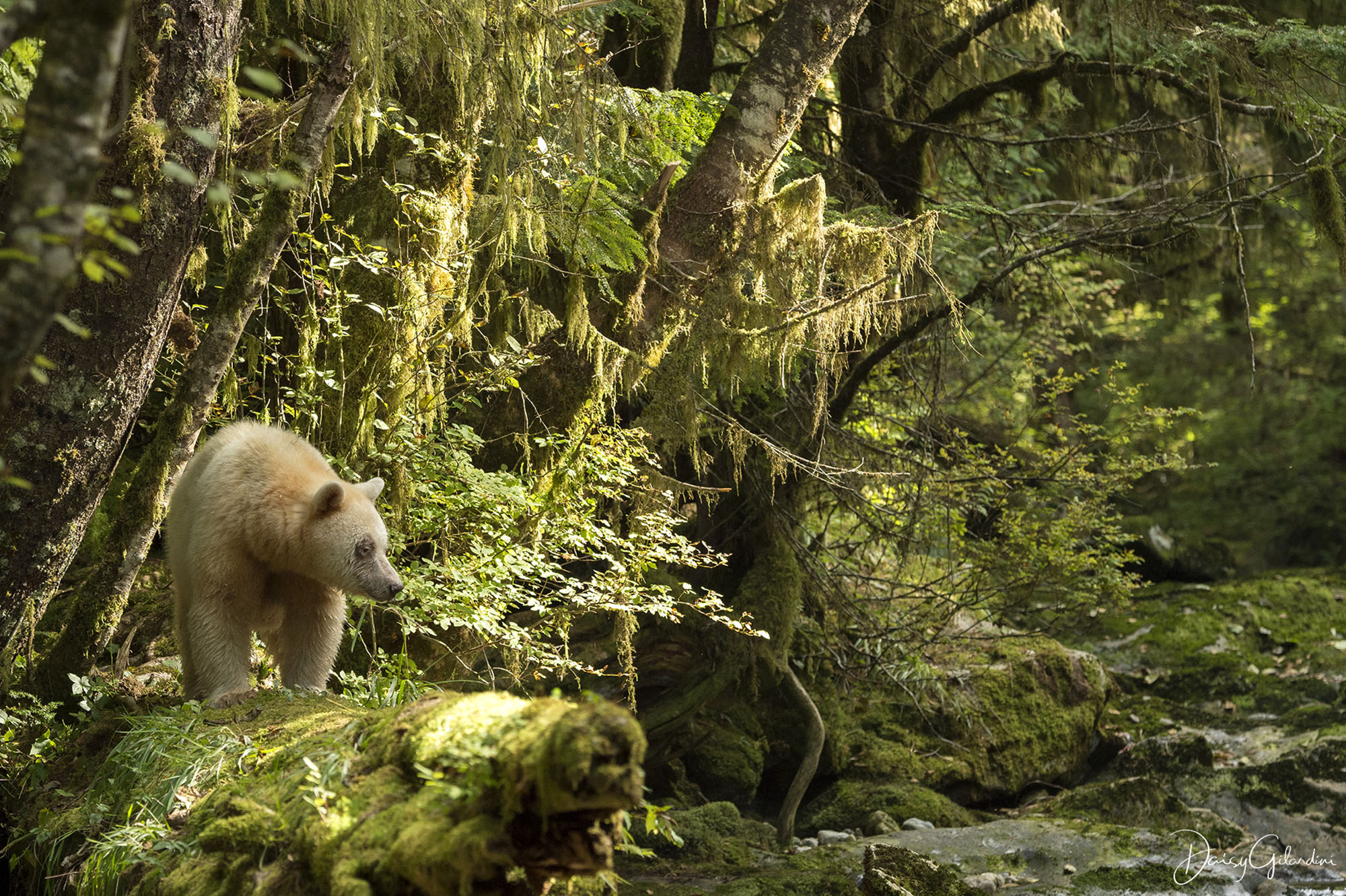 Spirit bear in forest (Daisy Gilardini)