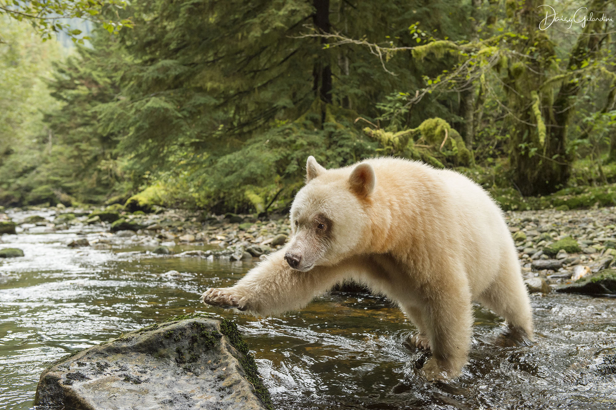 Spirit bear crossing river in forest (Daisy Gilardini)