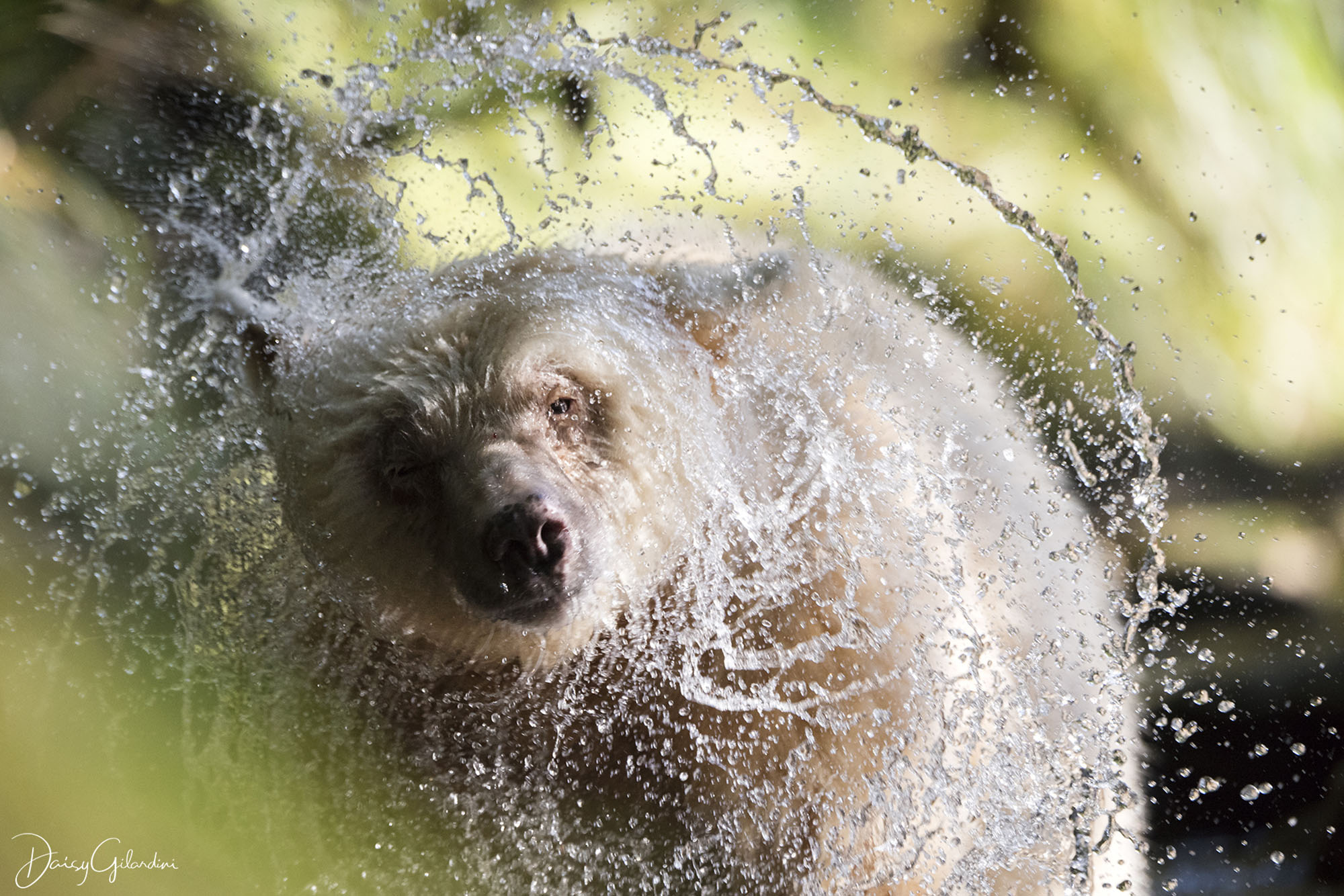 Spirit bear drying off in forest (Daisy Gilardini)