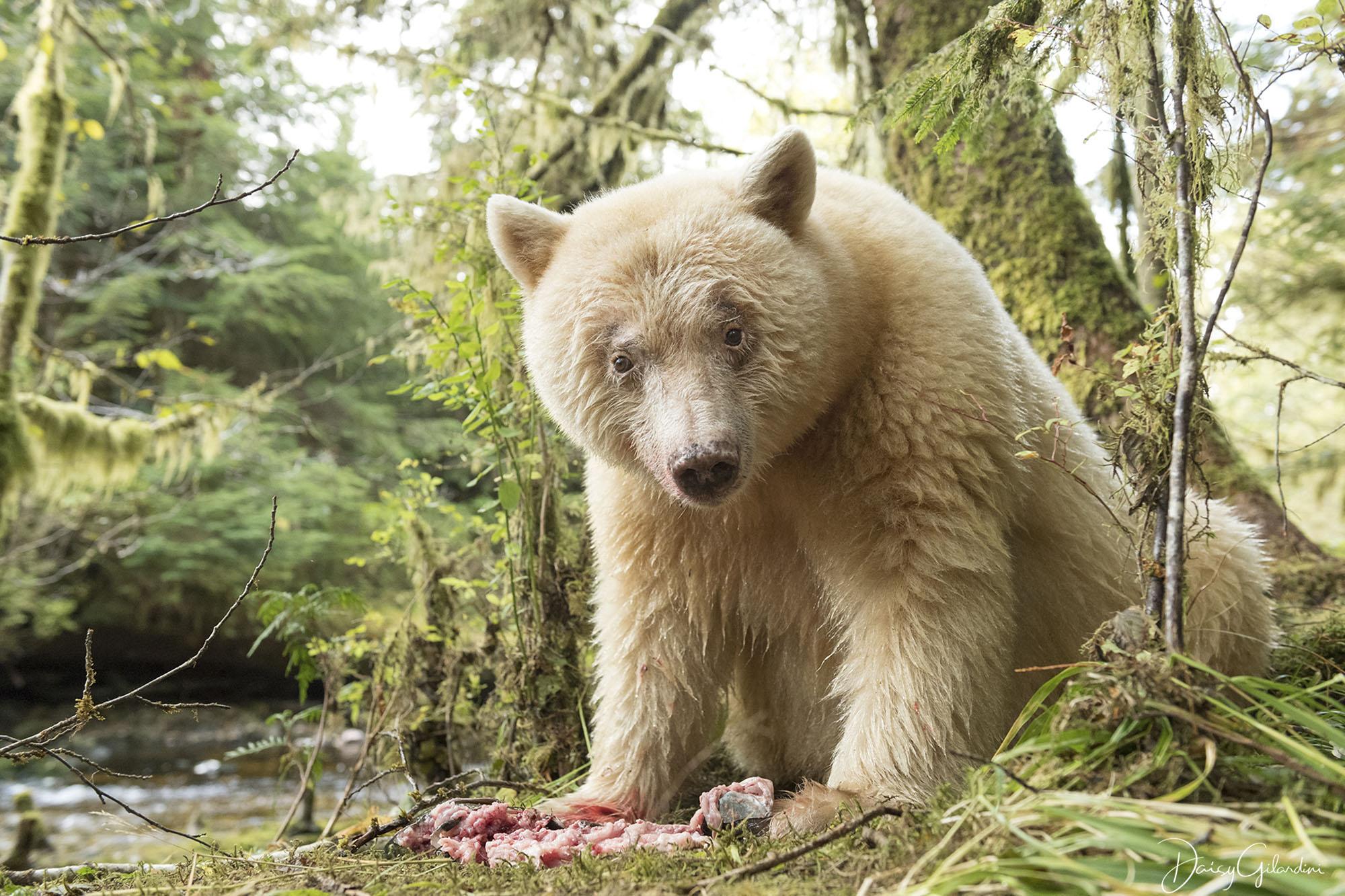 A Kermode bear (Daisy Gilardini)
