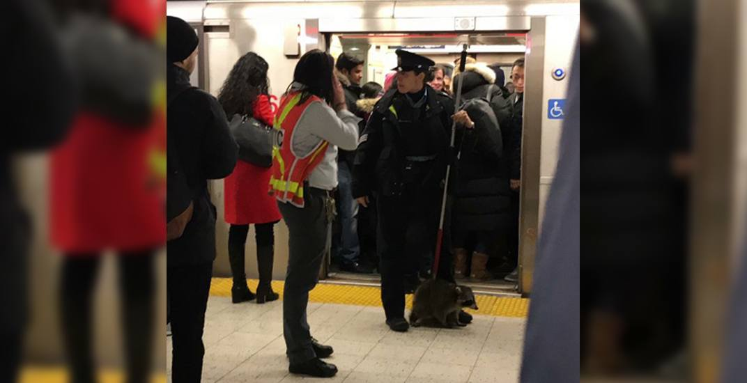 A raccoon caused a delay on the TTC Friday morning (PHOTO)