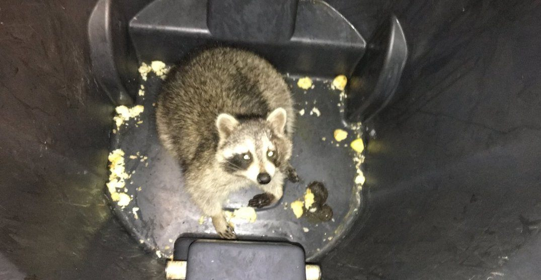Meet the raccoon that captured our hearts (and delayed us) on the TTC this morning