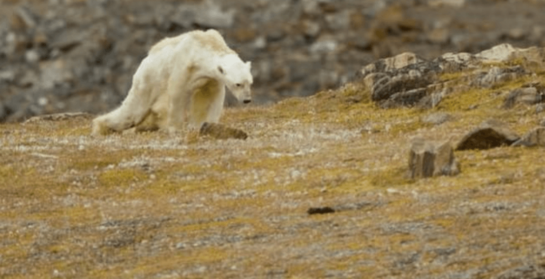 Heartbreaking video shows starving polar bear in iceless Canadian north