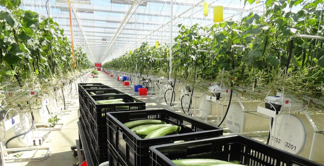 Windset farms greenhouse delta 2