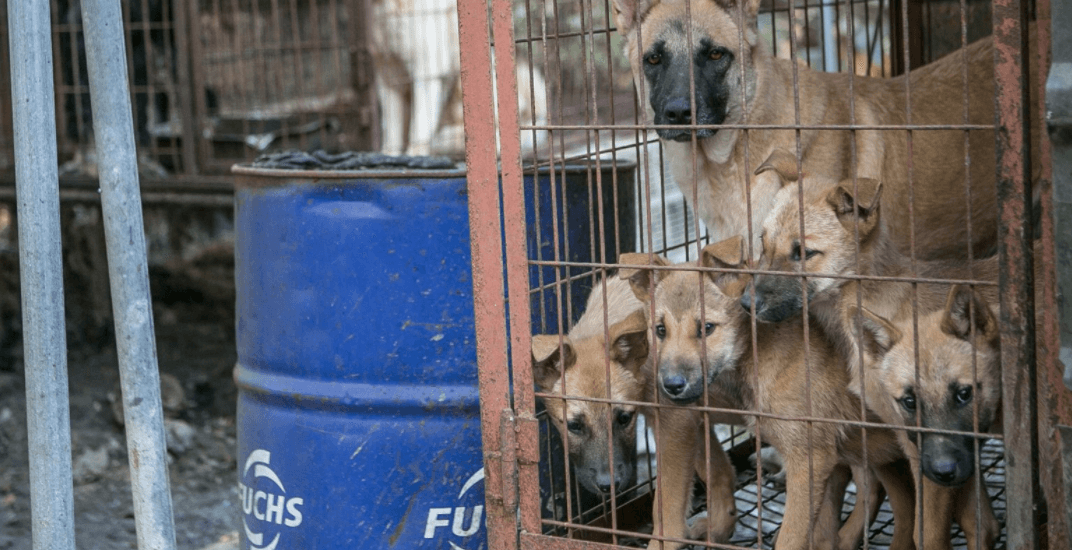 Dogs rescued from South Korean meat farms will be up for adoption in Montreal