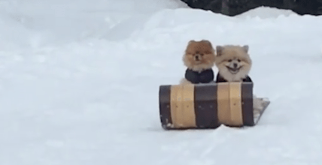 These Whistler dogs are having more fun than you right now (VIDEO)