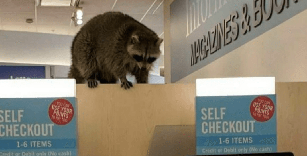 Raccoon spotted at self-checkout counter at Toronto Shoppers Drug Mart (PHOTOS)