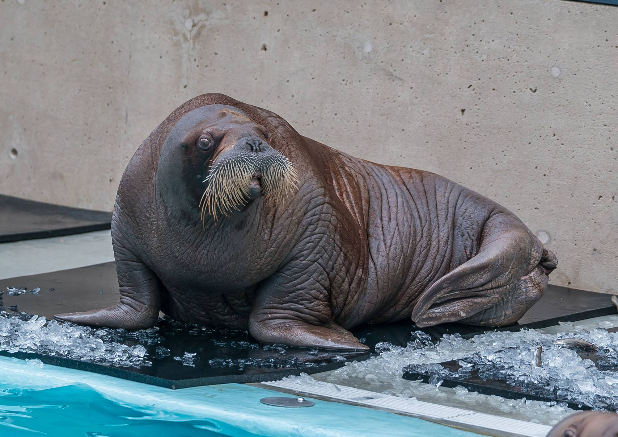 One of the new walruses (Vancouver Aquarium)
