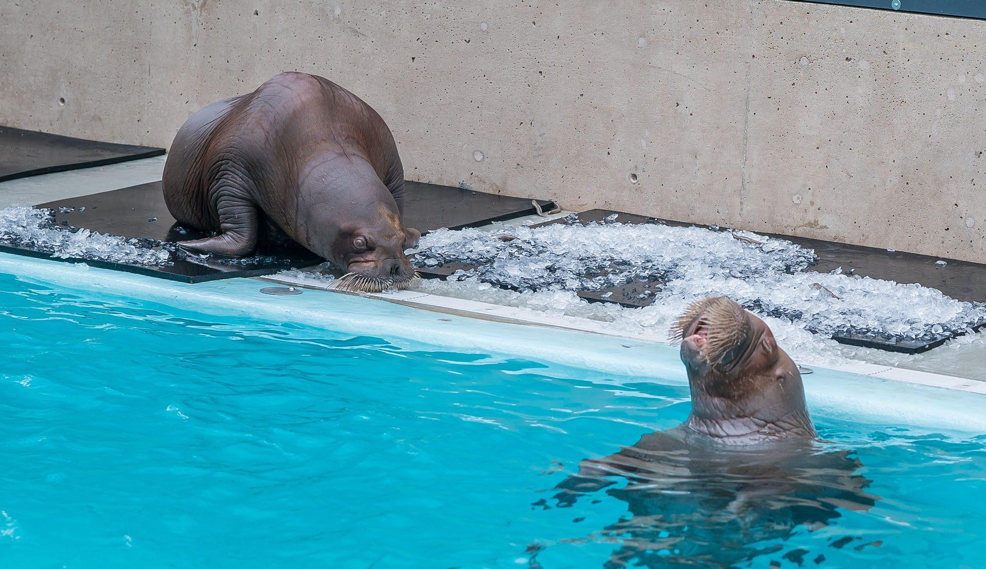 The new walruses Lakina and Balzak (Vancouver Aquarium)