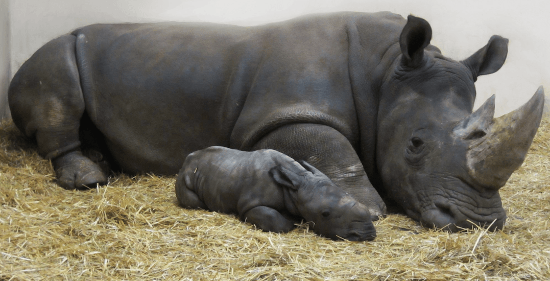 Toronto Zoo just welcomed an adorable baby rhino (VIDEO)