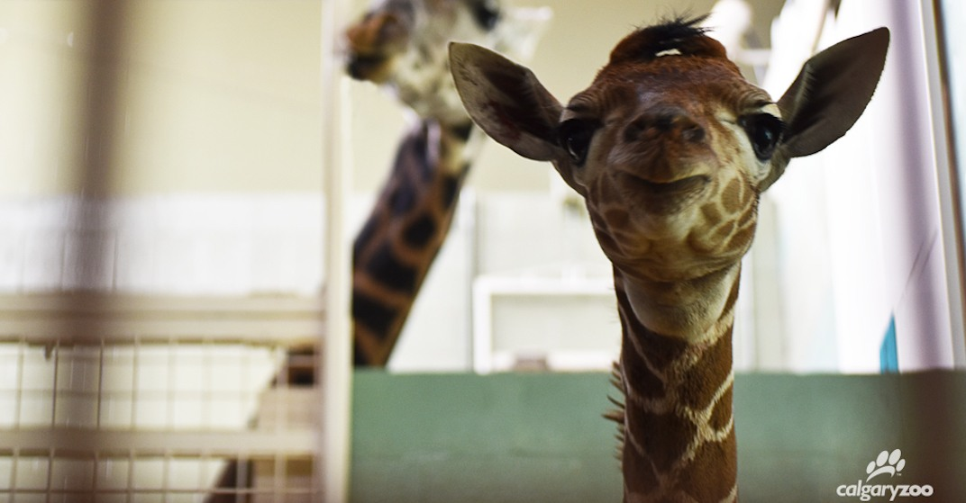 Two-day-old baby giraffe dies at Calgary Zoo