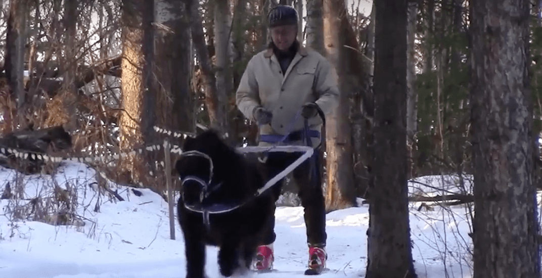 Alberta man being towed on skis by miniature horse goes viral (VIDEO)