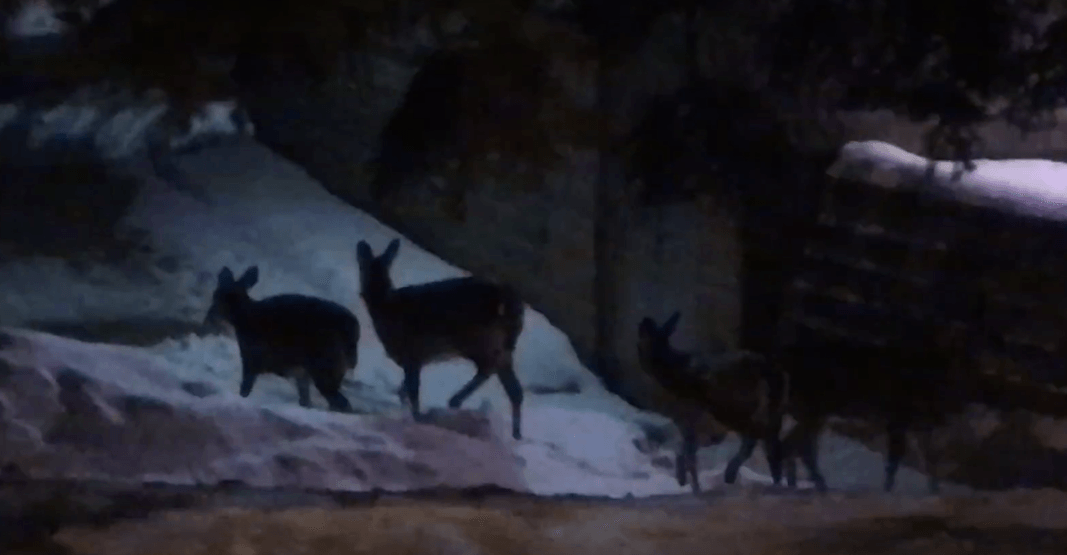 Several deer spotted running through Scarborough Village this week (VIDEOS)