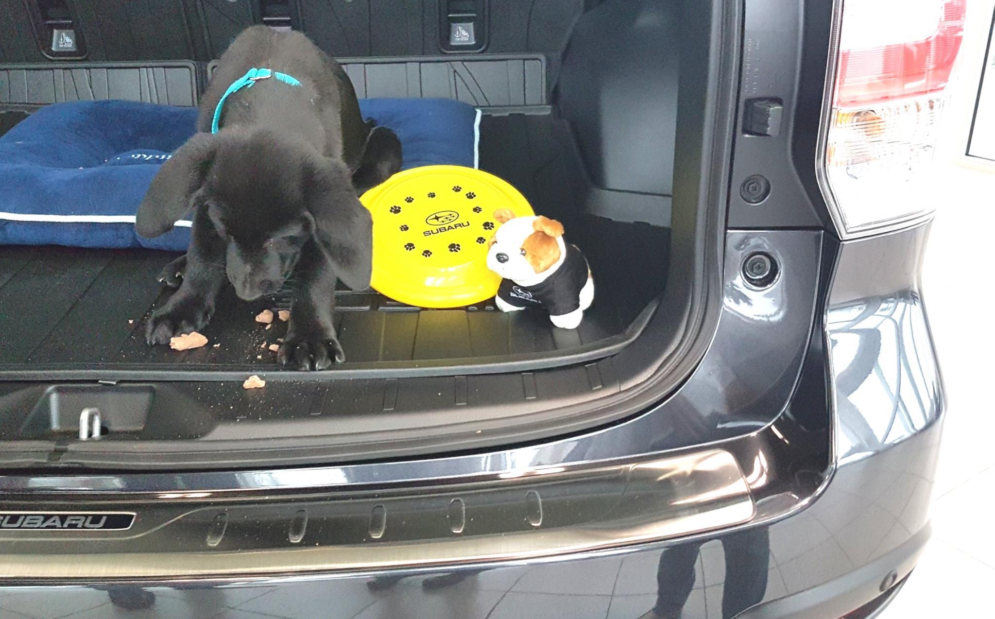 Adopt Me: Koji the blind Labrador puppy