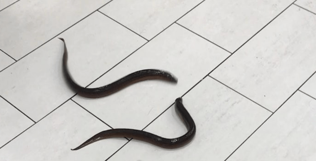 Live eels spotted wriggling on bathroom floor at Scarborough Town Centre (VIDEO)