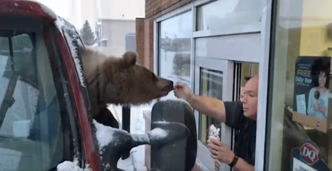 A bear in Innisfail, Alberta was treated to Dairy Queen for her birthday (VIDEO)