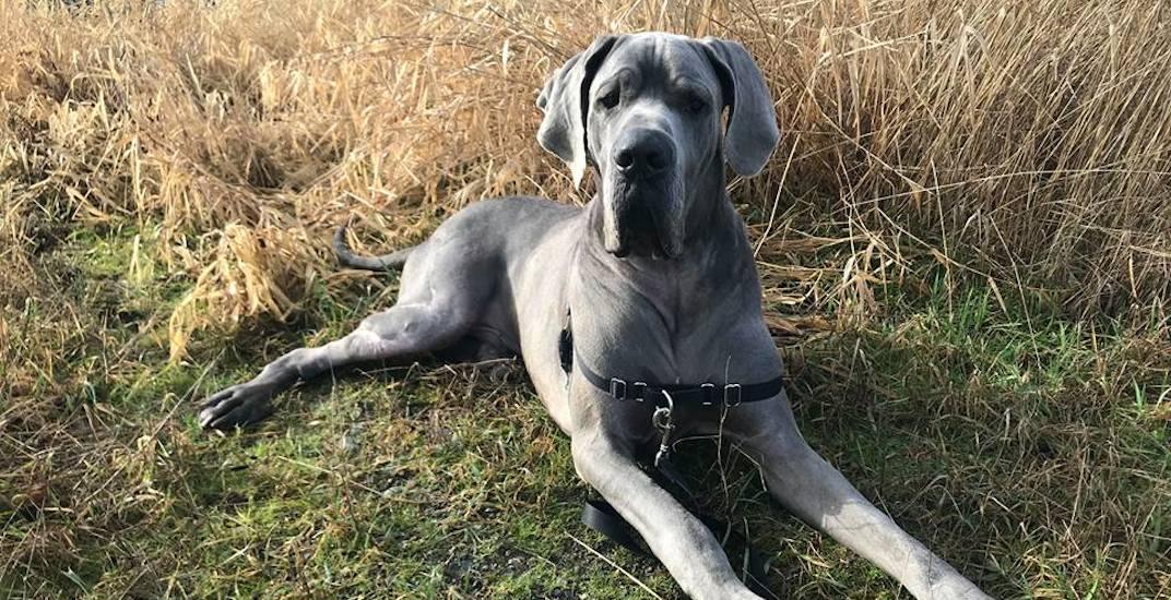 Adopt Me: Starved Great Dane seeks happy home