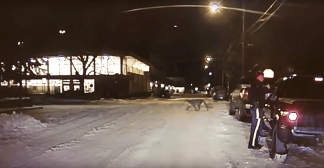 Alberta RCMP dashcam captures a cougar running across street (VIDEO)