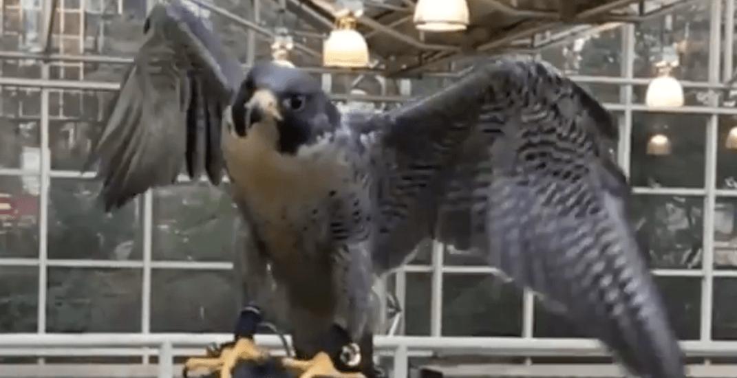 TransLink bringing predatory birds to SkyTrain stations to help fix pigeon problem
