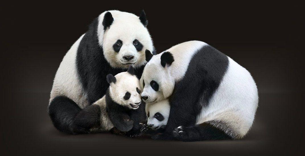 Giant pandas and their cubsthe calgary zoo